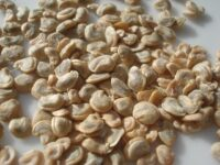 Dried_Prickly_pear_seed